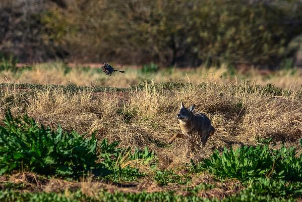 Coyote flinging a dead American Coot