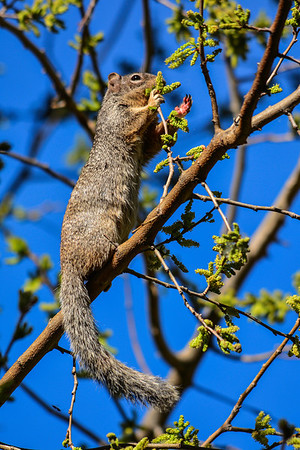 Location:  Hassayampa Preserve http://en.wikipedia.org/wiki/Rock_Squirrel
