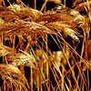 Wild wheat<br /> <br /> Copyrighted by Donald G. Stein©, all rights reserved