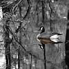 Woodland Goose_TOC