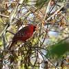 Northern Cardinal (photo taken in Millersville, Maryland)