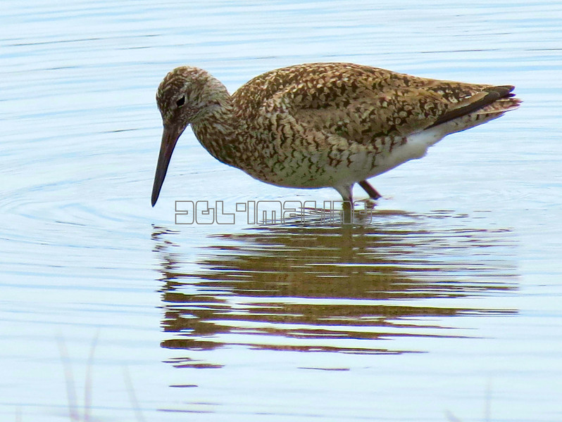 Willet  (photo taken in Ocean City, Maryland)