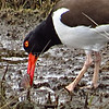 American Oystercatcher  (photo taken in Ocean City, Maryland)