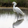 Snowy Egret (photo taken in Ocean City, Maryland)