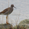 Greater Yellowlegs  (photo taken in Ocean City, Maryland)