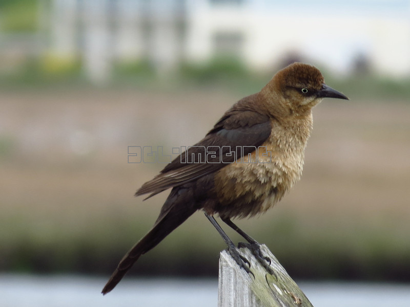 Female Boat-tailed Grackle (photo taken in Ocean City, Maryland)