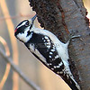 Male Downy Woodpecker  (photo taken in Millersville, Maryland, Nov. 2012)