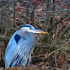 Great Blue Heron  (photo taken in Davisonville, Maryland)