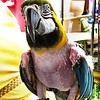 Not an Episode of Girls Gone Wild<br /> <br /> Meet Lilly: Lilly is a Blue-and-gold Macaw. Blue-and-gold Macaws are popular as pets because of their striking appearance and ability to talk.. However, they require  much more effort and knowledgeable  care from owners than traditional pets like dogs and cats. They are intelligent and social birds requiring a great deal of stimulation and attention. When cared for properly, they  bond very closely to their owners. <br /> <br /> Lilly's original owner was a caring and knowledgeable elderly woman who gave Lilly the care and attention she required. However, when her owner died, Lilly was inherited by her owner's son who had little time to attend to Lilly's needs. Out of boredom and stress Lilly spent her days plucking her own feathers until she was virtually nude.<br /> <br /> Lilly is now with a loving couple who attends very well to her needs and Lilly has begun the slow process of regrowing her feathers. I met Lilly and her friends at a neighborhood fair and they were kind enough to allow me to take some shots. I was very appreciative. After all, how often do you get the opportunity to shoot a beautiful nude model?