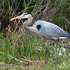 Great Blue Heron (photo taken in Ocean City, Maryland)