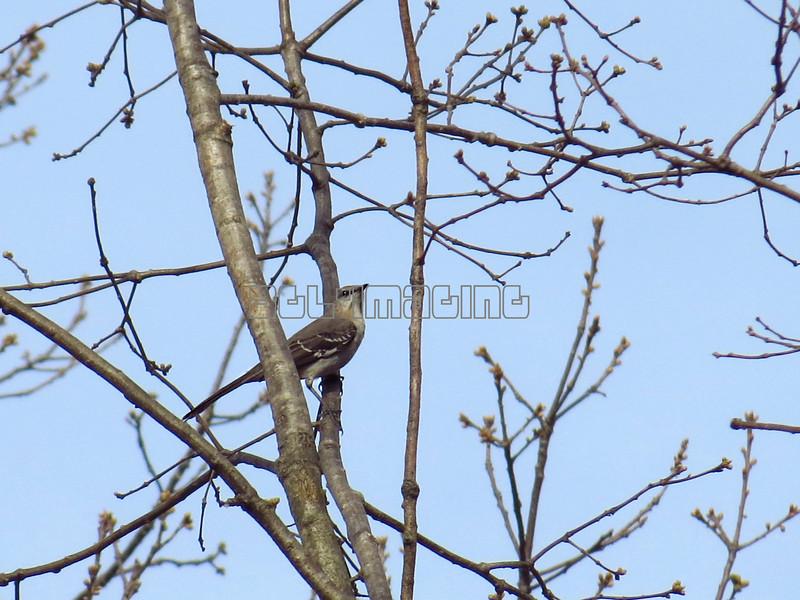 Northern Mockingbird (photo taken in Millersville, Maryland)