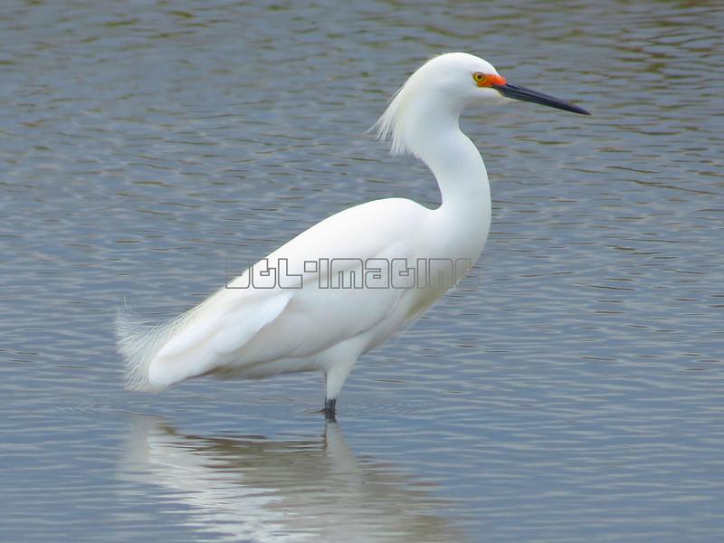 Snowy Egret (photo taken in Ocean City, Maryland)