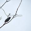 European Starling (photo taken in Millersville, Maryland)