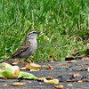 Chipping Sparrow (photo taken in Millersville, Maryland)