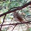 Hermit Thrush (photo taken in Millersville, Maryland)