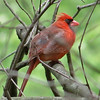 Northern Cardinal (photo taken in Millersville, Maryland)