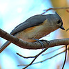 Tufted Titmouse   (photo taken in Millersville, Maryland, Nov. 2012)