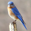 Eastern Bluebird (photo taken at Kinder Park Farm, Severna Park, Maryland.)