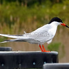 Common Tern (photo taken in Ocean City, Maryland)