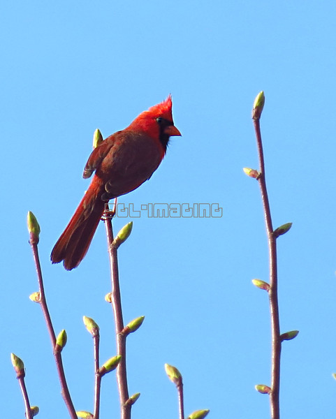 Northern Cardinal (photo taken in Westminster, Maryland)