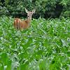 Deer in the corn  (Photo taken near Ocean City, Maryland)