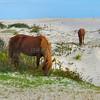 Assateague Wild Horses C
