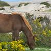 Assateague Wild Horses 2B
