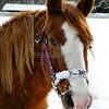 Snowy Snout Horse