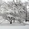 Snowy Dogwood 3