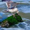 Gull Rock 2