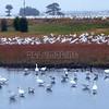 Fenwick White Geese