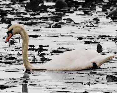 swan edit