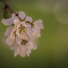 86/366 - Branches / Spring Bloom