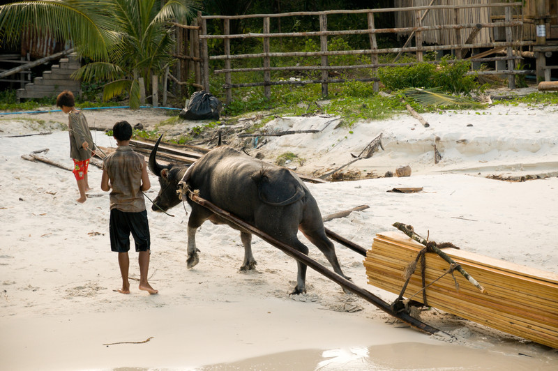 The residents of Koh Rong make some of their money by illegally logging the island's interior. Water buffalo then haul the cut wood by water(so the wood floats) back to the villages.