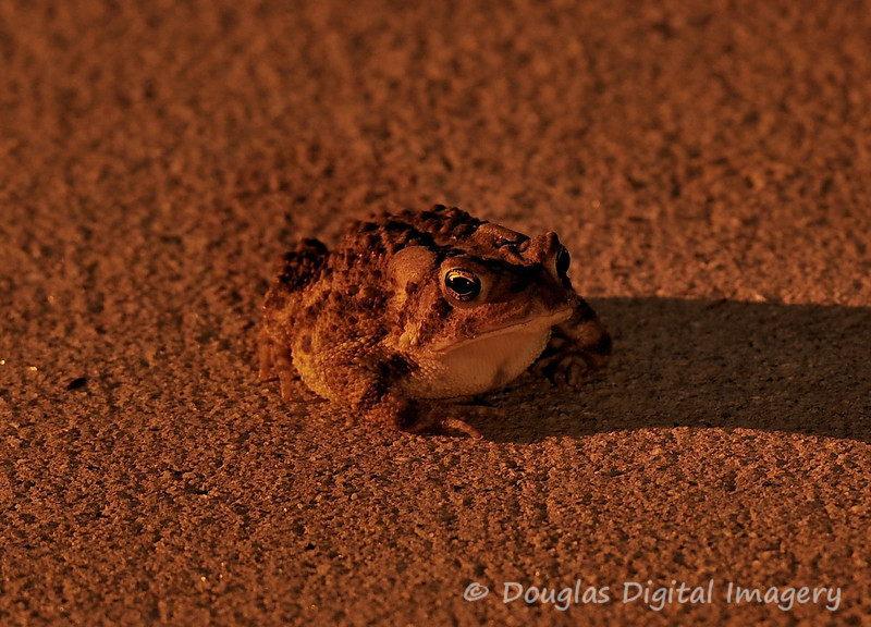 Picture for the week of 8/30 - 9/5<br /> <br /> I was outside trying to get a shot of the full moon when this toadjumped in front of me and scared me half to death.  So I manual focused on him (it was too dark to auto-focus) and took his picture while he was in the driveway.  <br /> <br /> Shot with D700; 300mm f/2.8 AF-S II w/TC-17E II (on a tripod)<br /> 510mm; 30s; f/8.0; ISO 200