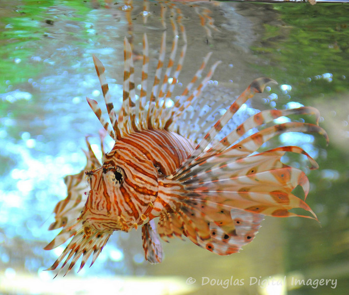 Picture for week 3/1 - 3/7.<br /> <br /> This is a shot of a lion fish in the fishtank at our West Hills, CA office in which I visited during the first week of March.  The office is just outside of Los Angeles.  <br /> <br /> Shot with D700; 28-70mm f/2.8 AF-S<br /> 70mm; 1/70s; f/2.8; ISO 2200