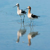 Avocets-1 unedited