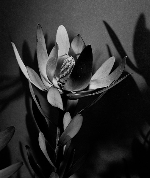 LEUCADENDRON (Photos 9-12 in black and white; Photos 13-20 in color)