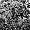 Profusion Berry (Podacarpus)