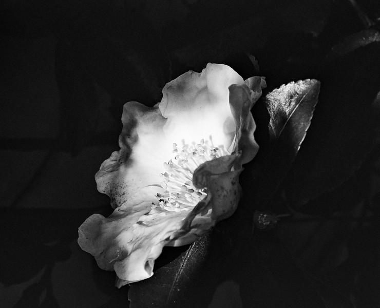 Sesanqua Camellia, white, 15-16