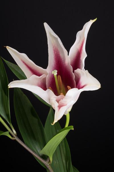 PART TWO, Star-gazer lilies