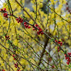 Forsythia and Quince