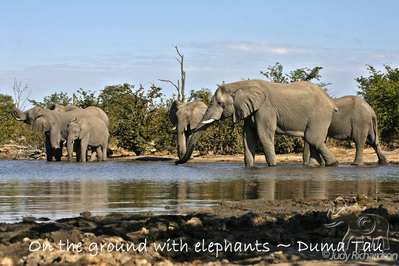 Elephant herd at a watering hole at Duma Tau Camp.