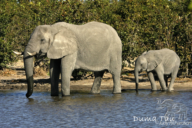 Splendid African Elephants from ground level in Botswana~Duma Tau