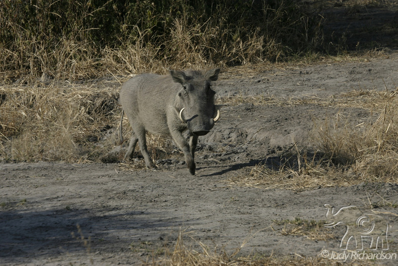 Warthog in Natural Surroundings