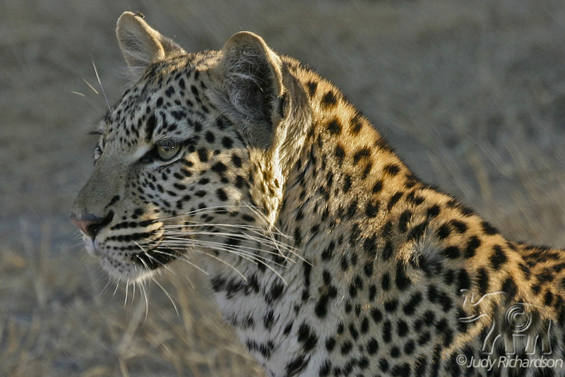 Leopard at Moremi Reserve near Mombo Camp.