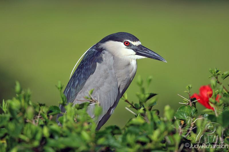 Black-crowned Night Heron ~ Hamakua Wetlands ~ Kailua, Hawai'i