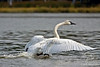 Trumpeter Swan taking off ~ Healy Lake, Alaska
