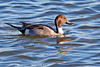 Northern Pintail ~ Newport Beach, California