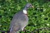Common Wood Pigeon ~ Hyde Park ~ London, England